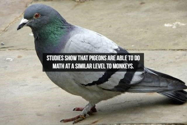 Bird - STUDIES SHOW THAT PIGEONS ARE ABLE TO DO MATH AT A SIMILAR LEVEL TO MONKEYS