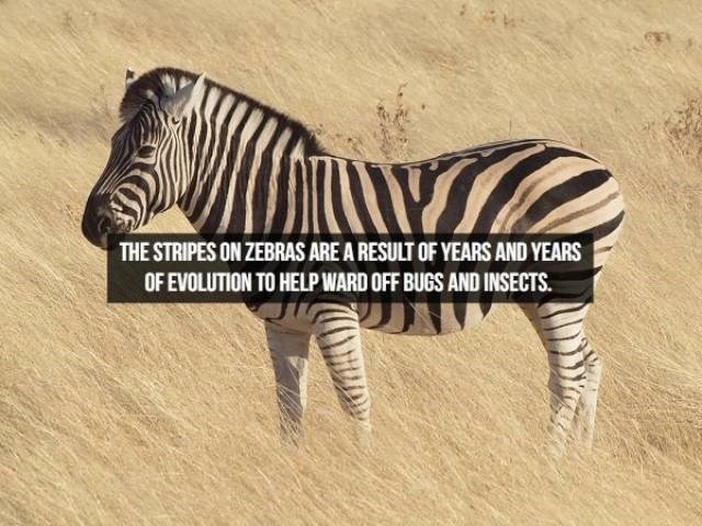 Zebra - THE STRIPES ON ZEBRAS ARE A RESULT OF YEARS AND YEARS OF EVOLUTION TO HELP WARD OFF BUGS AND INSECTS.