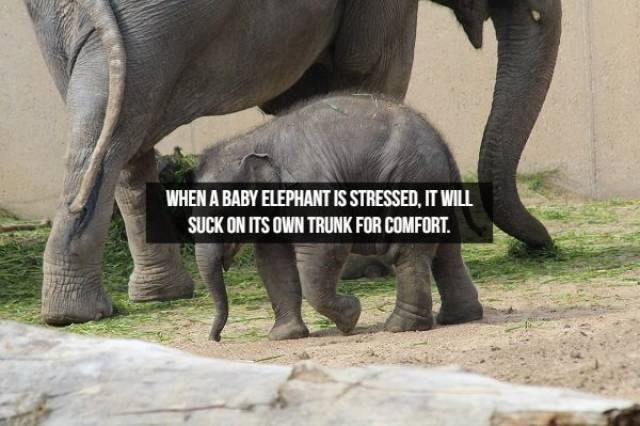 Elephant - WHEN A BABY ELEPHANT IS STRESSED, IT WILL SUCK ON ITS OWN TRUNK FOR COMFORT