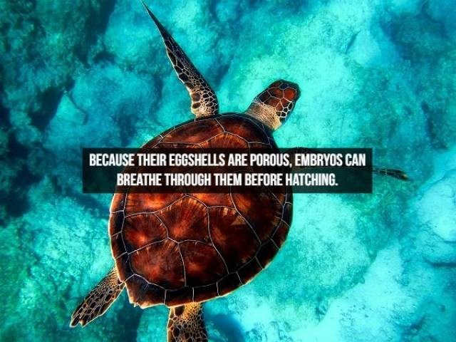 Sea turtle - BECAUSE THEIR EGGSHELLS ARE POROUS, EMBRYOS CAN BREATHE THROUGH THEM BEFORE HATCHING.