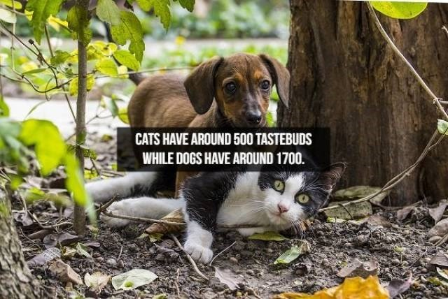 Cat - CATS HAVE AROUND 500 TASTEBUDS WHILE DOGS HAVE AROUND 1700.