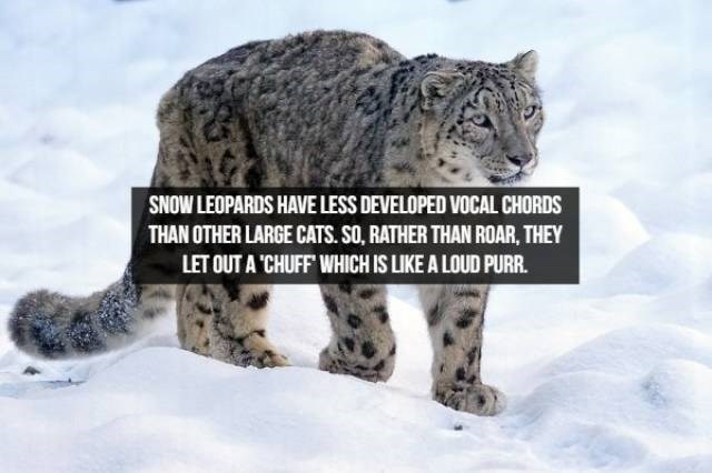 Mammal - SNOW LEOPARDS HAVE LESS DEVELOPED VOCAL CHORDS THAN OTHER LARGE CATS. SO, RATHER THAN ROAR, THEY LET OUT A 'CHUFF WHICH IS LIKE A LOUD PURR.