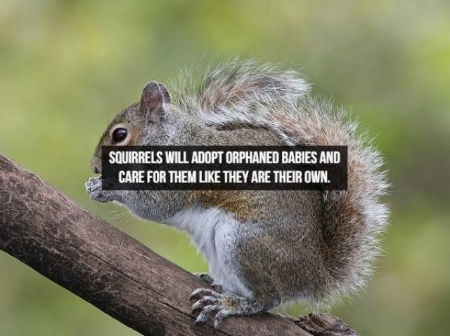 Vertebrate - SQUIRRELS WILL ADOPT ORPHANED BABIES AND CARE FOR THEM LIKE THEY ARE THEIR OWN.