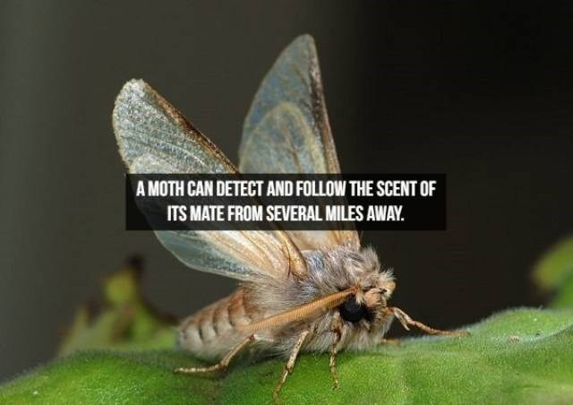 Insect - A MOTH CAN DETECT AND FOLLOW THE SCENT OF ITS MATE FROM SEVERAL MILES AWAY.