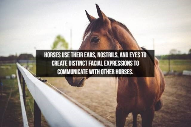 Horse - HORSES USE THEIR EARS, NOSTRILS, AND EYES TO CREATE DISTINCT FACIAL EXPRESSIONS TO COMMUNICATE WITH OTHER HORSES.