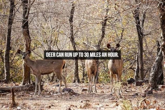 Wildlife - DEER CAN RUN UP TO 30 MILES AN HOUR.