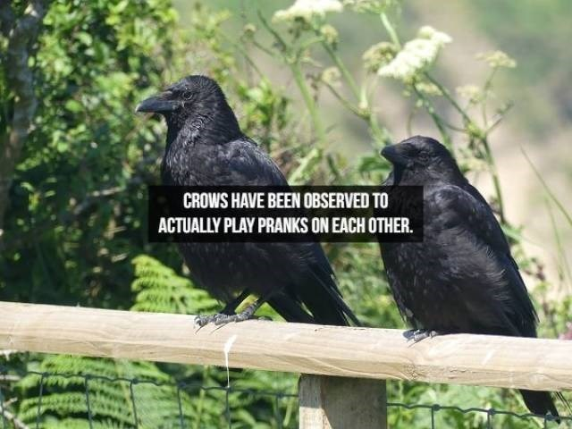 Bird - CROWS HAVE BEEN OBSERVED TO ACTUALLY PLAY PRANKS ON EACH OTHER