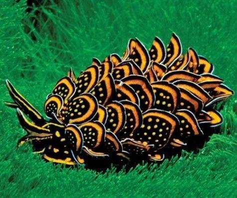 pretty slug - Organism