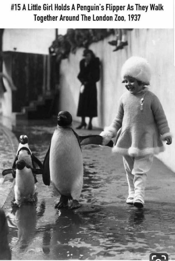 Penguin - #15 A Little Girl Holds A Penguin's Flipper As They Walk Together Around The London Zoo, 1937