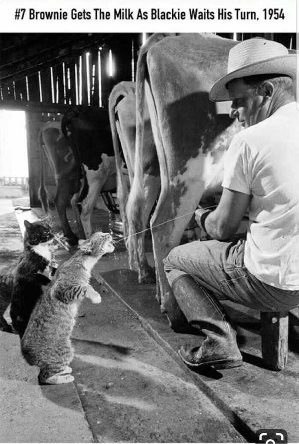 Photography - #7 Brownie Gets The Milk As Blackie Waits His Turn. 1954