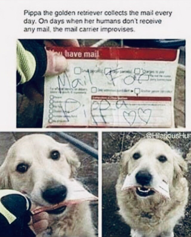 cute animals - Dog - Pippa the golden retriever colects the mail every day. On days when her humans don't receive any mail, the mail carrier improvises have mail @HilarousHun