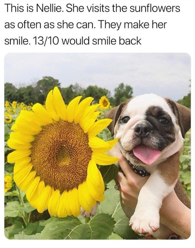 cute animals - Dog - This is Nellie. She visits the sunflowers as often as she can. They make her smile. 13/10 would smile back
