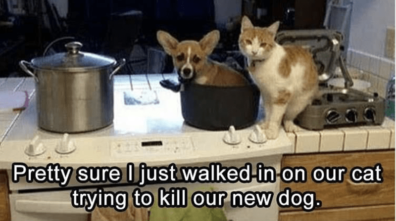 animal meme - Dog - Pretty sure Ifust walked-in on our cat trying to kill our new dog.