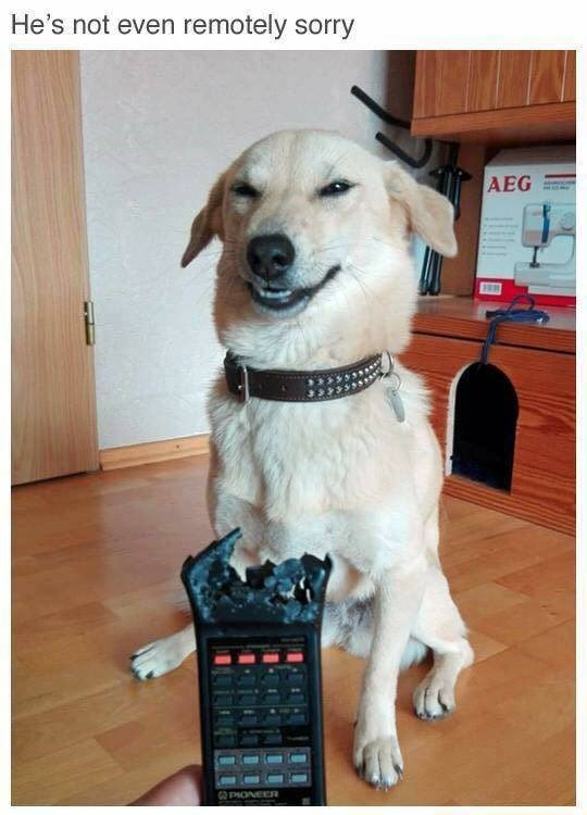 animal meme - Dog - He's not even remotely sorry AEG PIONEER