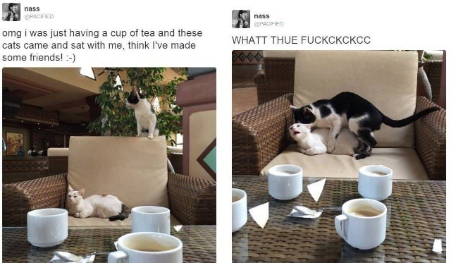 animal meme - Cat - nass @PACIFIED nass ePACIFIED omg i was just having a cup of tea and these cats came and sat with me, think I've made some friends!-) WHATT THUE FUCKCKCKCC