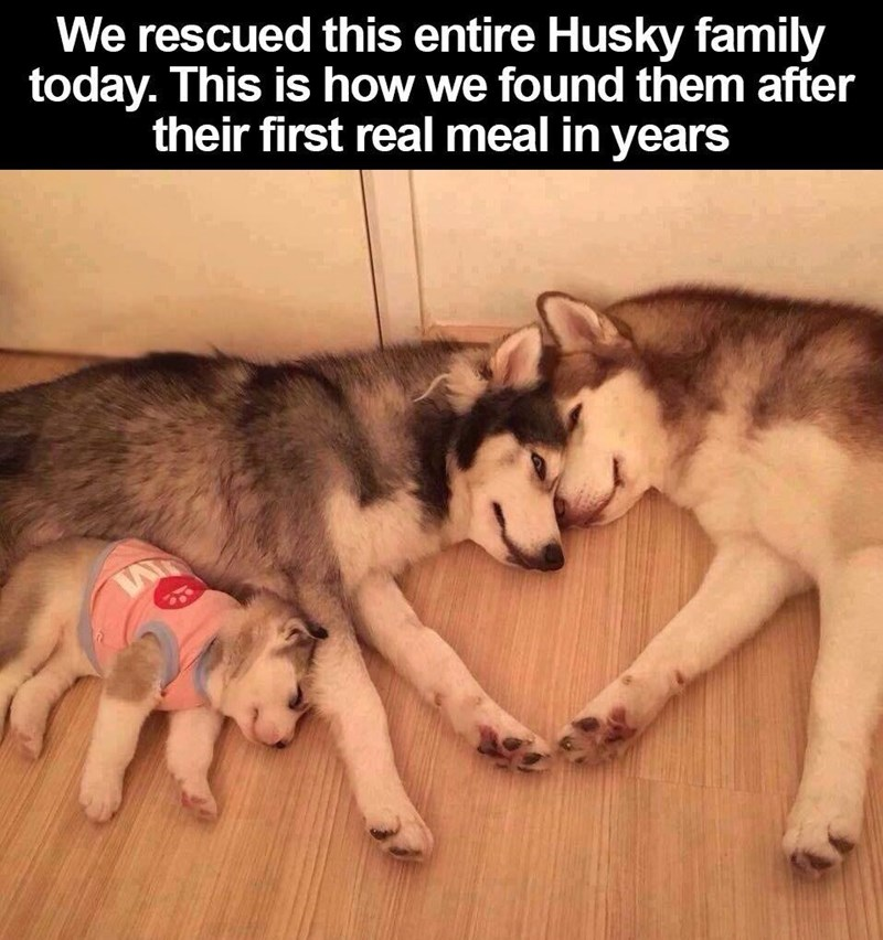 animal meme - Mammal - We rescued this entire Husky family today. This is how we found them after their first real meal in years