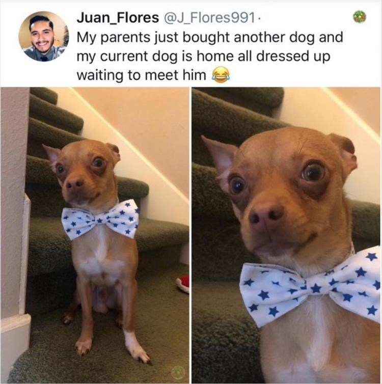 Dog - Juan_Flores @J_Flores991. My parents just bought another dog and my current dog is home all dressed up waiting to meet him