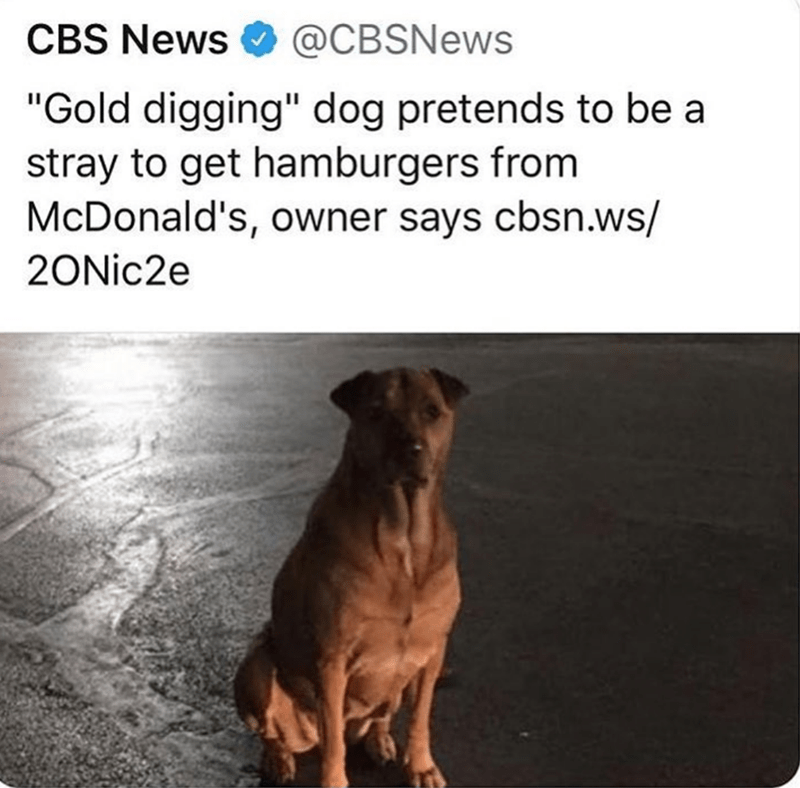 "Dog - CBS News @CBSNEWS ""Gold digging"" dog pretends to be a stray to get hamburgers from McDonald's, owner says cbsn.ws/ 20Nic2e"