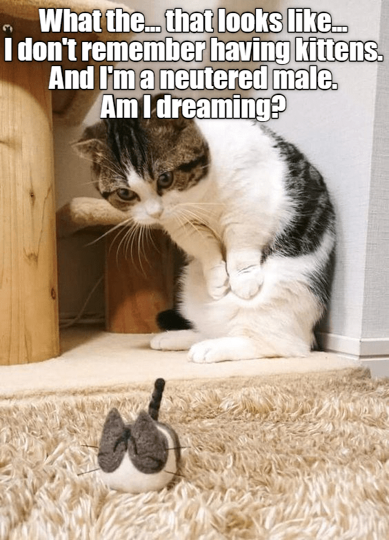 cute cat meme of a cat thinking a toy is a kitten
