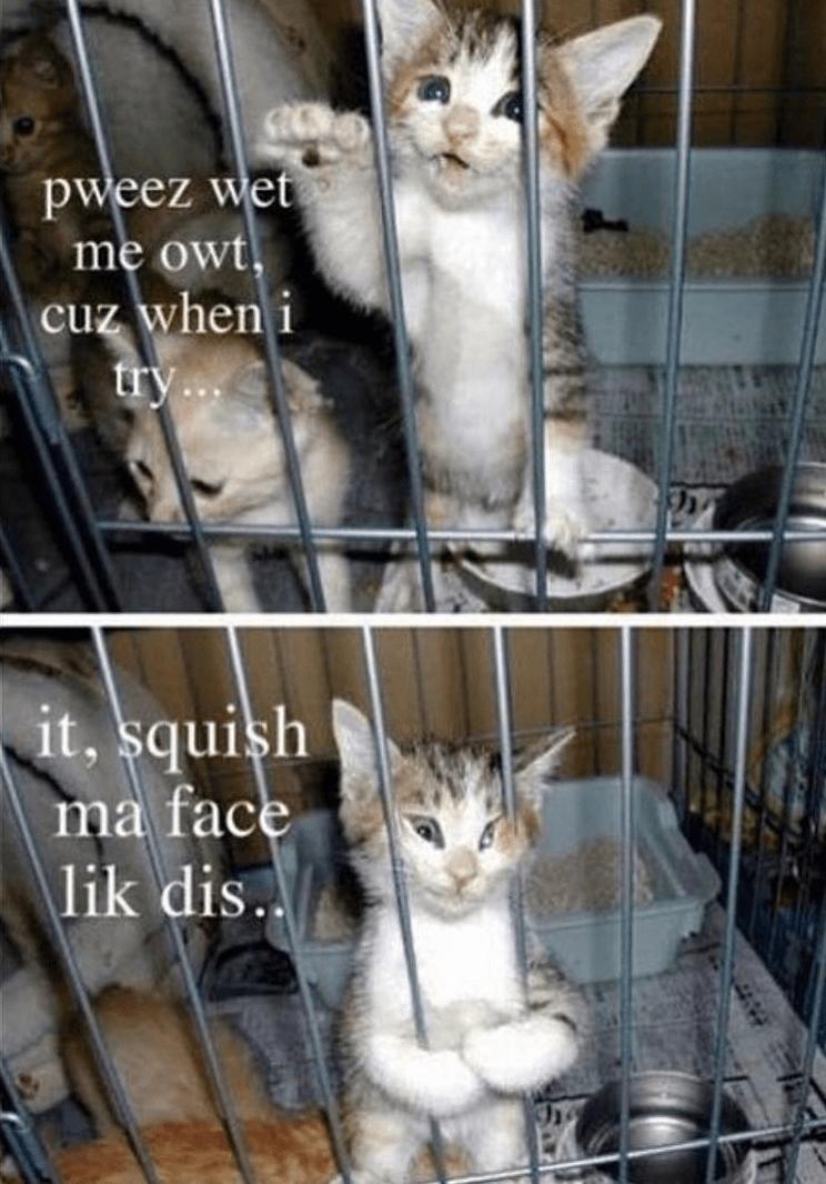 cat meme - Cat - pweez wet me owt, cuz when i try... it, squish ma face \lik dis.