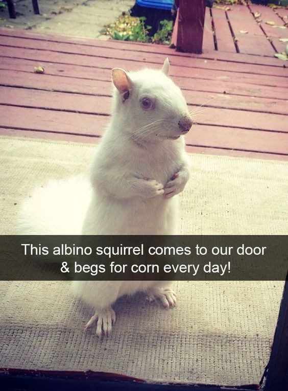 Sky - This albino squirrel comes to our door & begs for corn every day!
