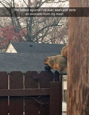 Wildlife - The fattest squirrel I've ever seen just stole an avocado from my trash