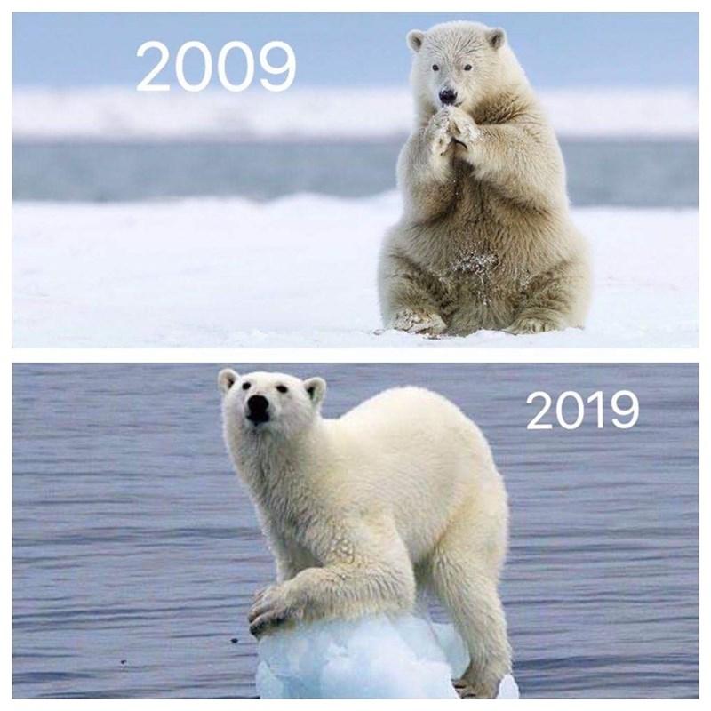 Polar bear - 2009 2019