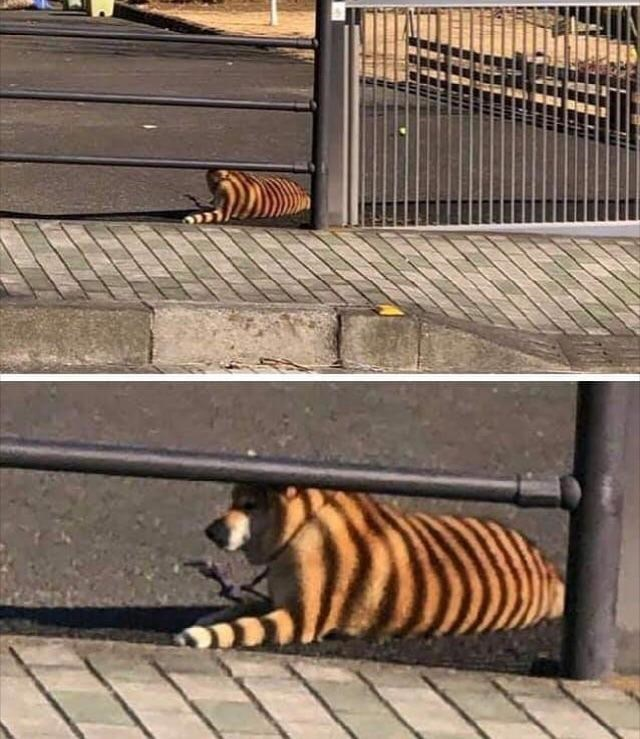 skewed perspective - Bengal tiger