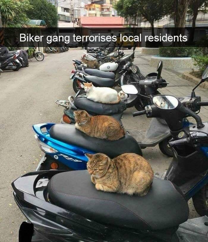 "Snapchat text that reads, ""Biker gang terrorizes local residents"" over a pic of cats sitting on motorcycles"