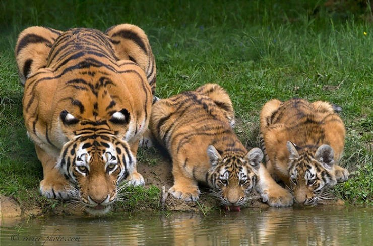 tigers eyes marking facts