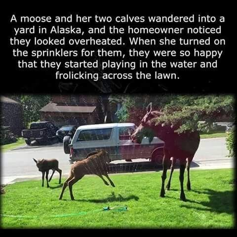post about a woman turning on the lawn sprinklers for baby moose