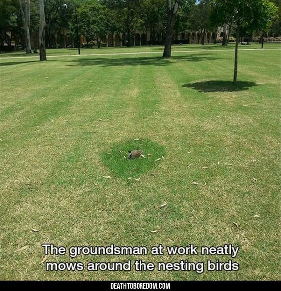 pic of a mowed lawn with overgrown patches where birds set their nests