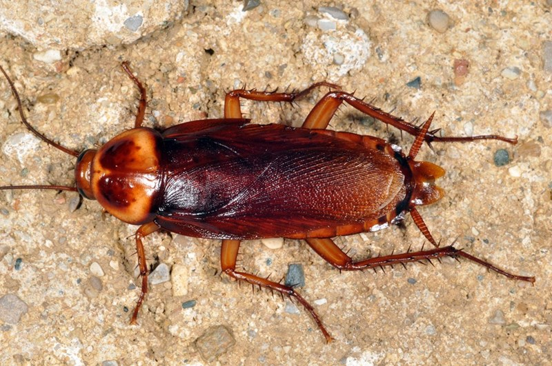 closeup pic of a cockroach