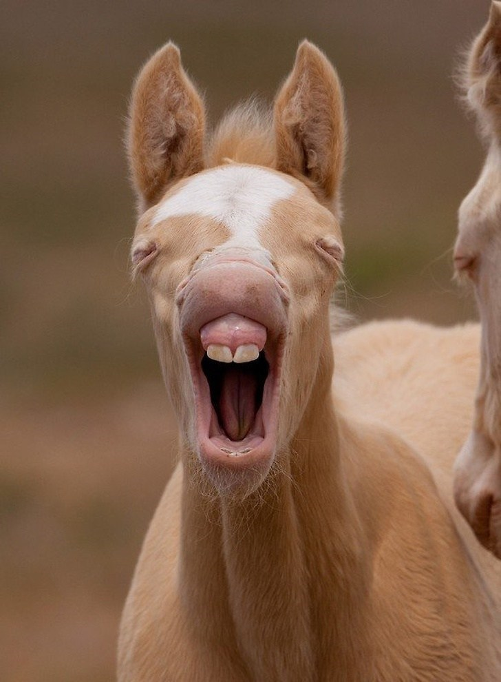 funny pic of a horse with two large front teeth yawning