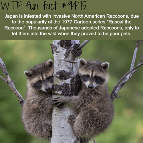 """Wildlife - WTF fun fact #1415 Japan is infested with invasive North American Raccoons, due to the popularity of the 1977 Cartoon series """"Rascal the Raccoon"""". Thousands of Japanese adopted Raccoons, only to let them into the wild when they proved to be poor pets"""