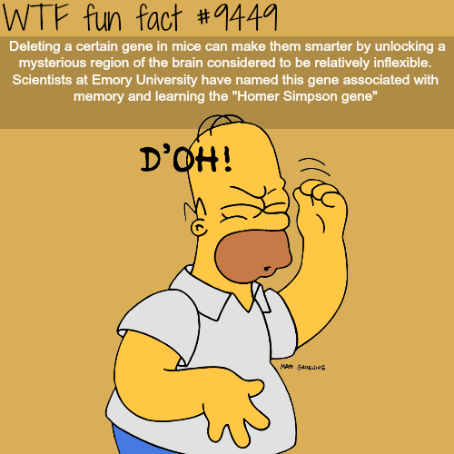 """Text - WTF fun fact #1441 Deleting a certain gene in mice can make them smarter by unlocking a mysterious region of the brain considered to be relatively inflexible. Scientists at Emory University have named this gene associated with memory and learning the """"Homer Simpson gene"""" D'OH! MA oJg"""