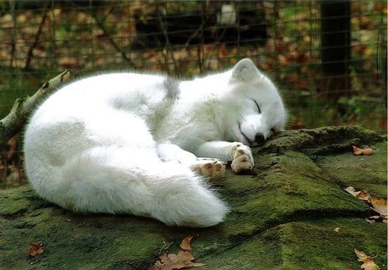 cute animals - Arctic fox