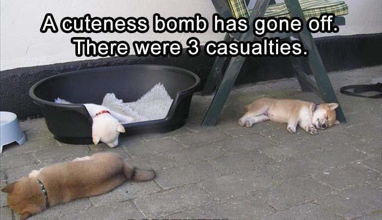 Dog - A cuteness bomb has gone off There were 3 casualties.
