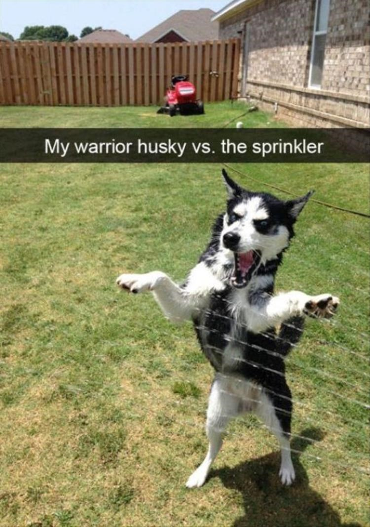 Mammal - My warrior husky vs. the sprinkler
