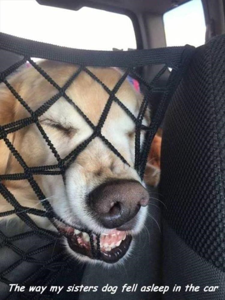 Canidae - The way my sisters dog fell asleep in the car