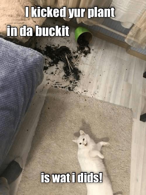 Cat - Ikicked yur plant in da buckit is watidids!