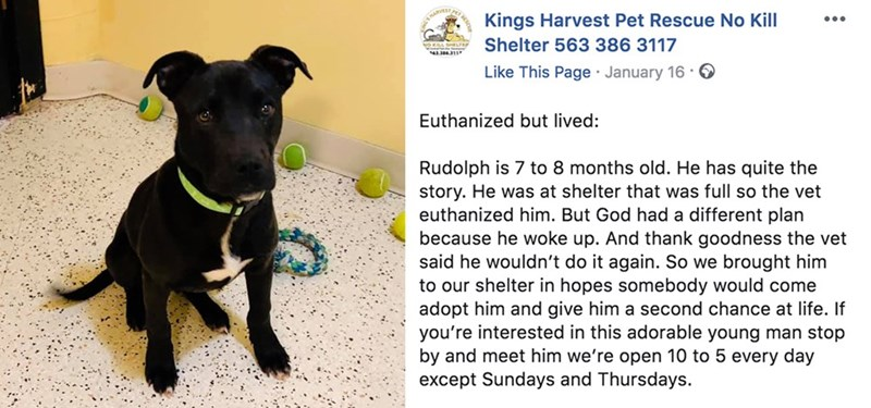 Dog - Kings Harvest Pet Rescue No Kill Shelter 563 386 3117 NO KAL SHLTE 4386311 Like This Page January 16 Euthanized but lived: Rudolph is 7 to 8 months old. He has quite the story. He was at shelter that was full so the vet euthanized him. But God had a different plan because he woke up. And thank goodness the vet said he wouldn't do it again. So we brought him to our shelter in hopes somebody would come adopt him and give him a second chance at life. If you're interested in this adorable youn