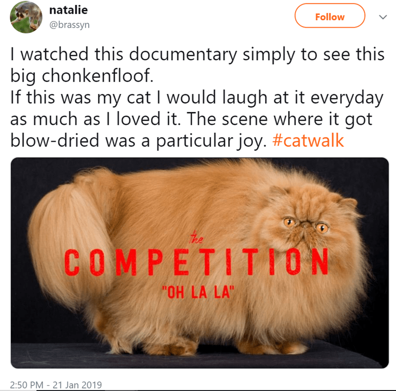 "Photo caption - natalie Follow @brassyn I watched this documentary simply to see this big chonkenfloof. If this was my cat I would laugh at it everyday as much as I loved it. The scene where it got blow-dried was a particular joy. #catwalk COMPETITTON ""OH LA LA"""