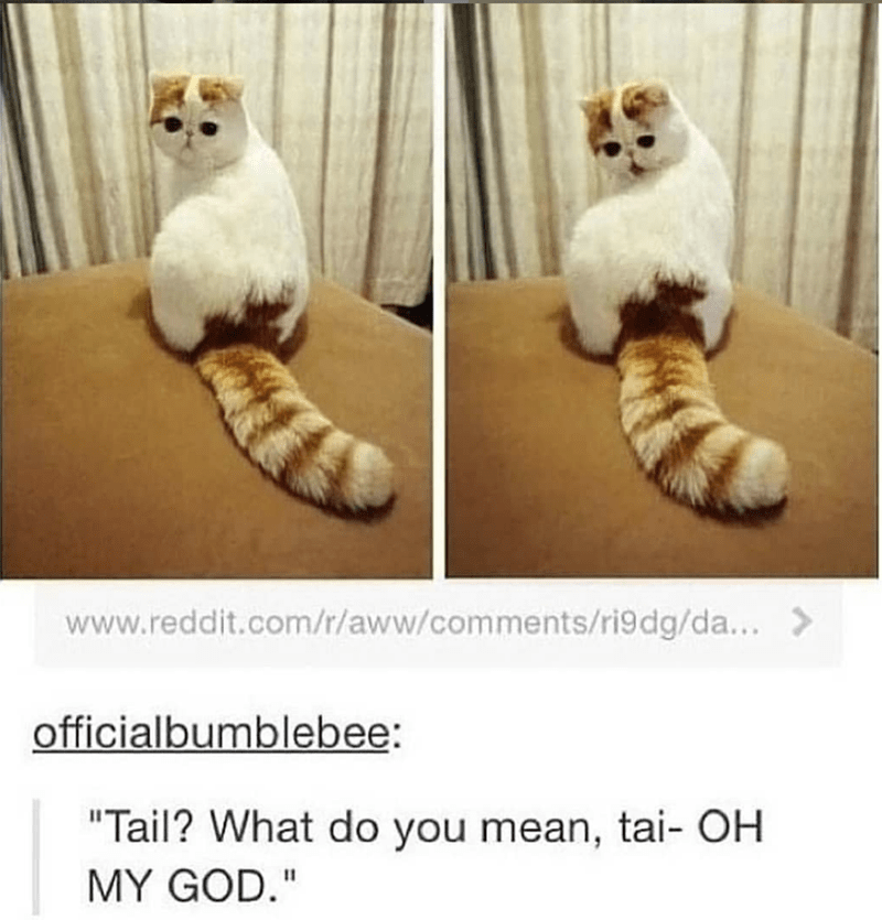 """Cat - www.reddit.com/r/aww/comments/ri9dg/da... officialbumblebee: """"Tail? What do you mean, tai- OH MY GOD."""""""