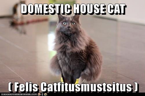 cat meme domestic house cat - 9263908096