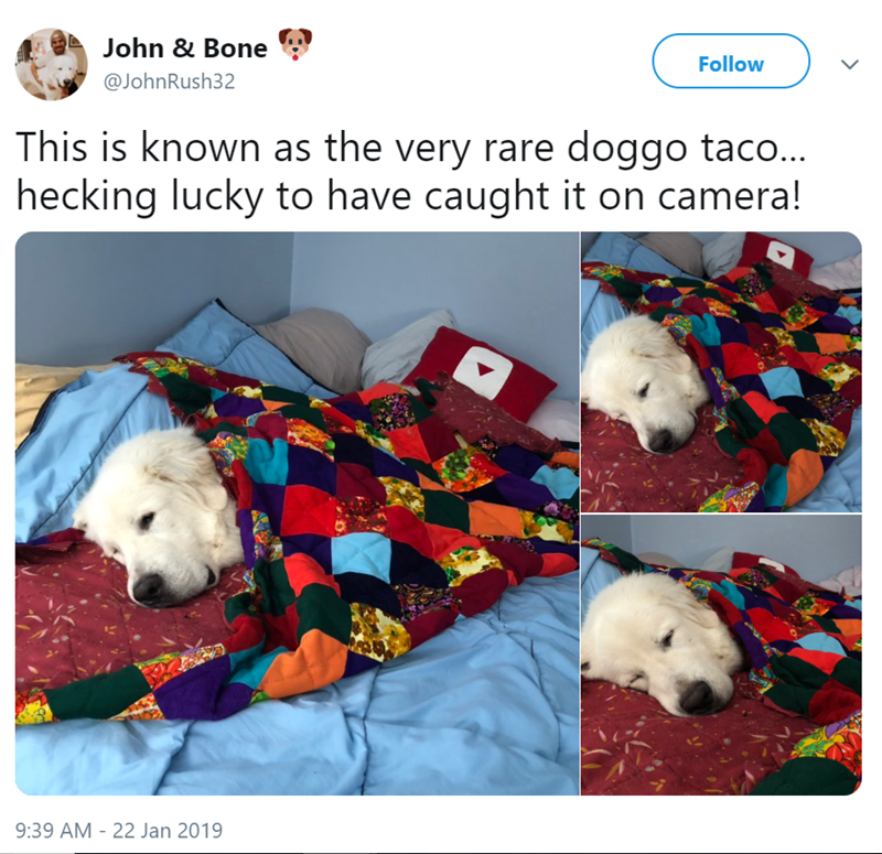 Dog - John & Bone Follow @JohnRush32 This is known as the very rare doggo taco.. hecking lucky to have caught it on camera! 9:39 AM - 22 Jan 2019
