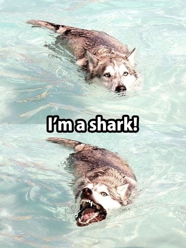 wholesome meme of a dog swimming and looks like a shark