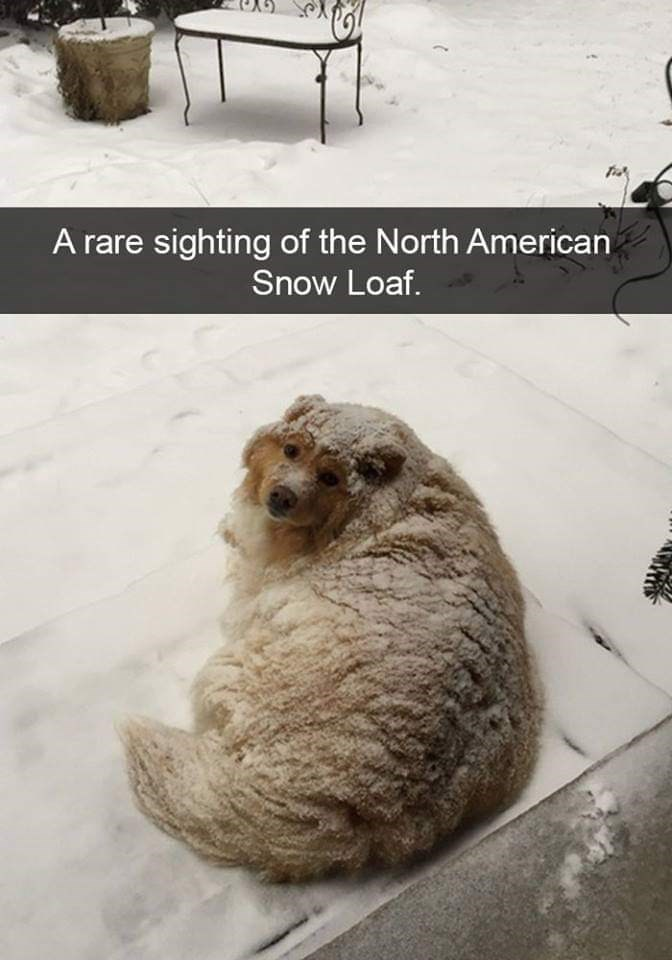 Dog - A rare sighting of the North American Snow Loaf.