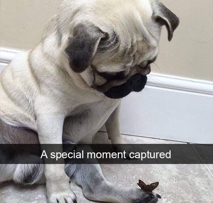 Pug - A special moment captured