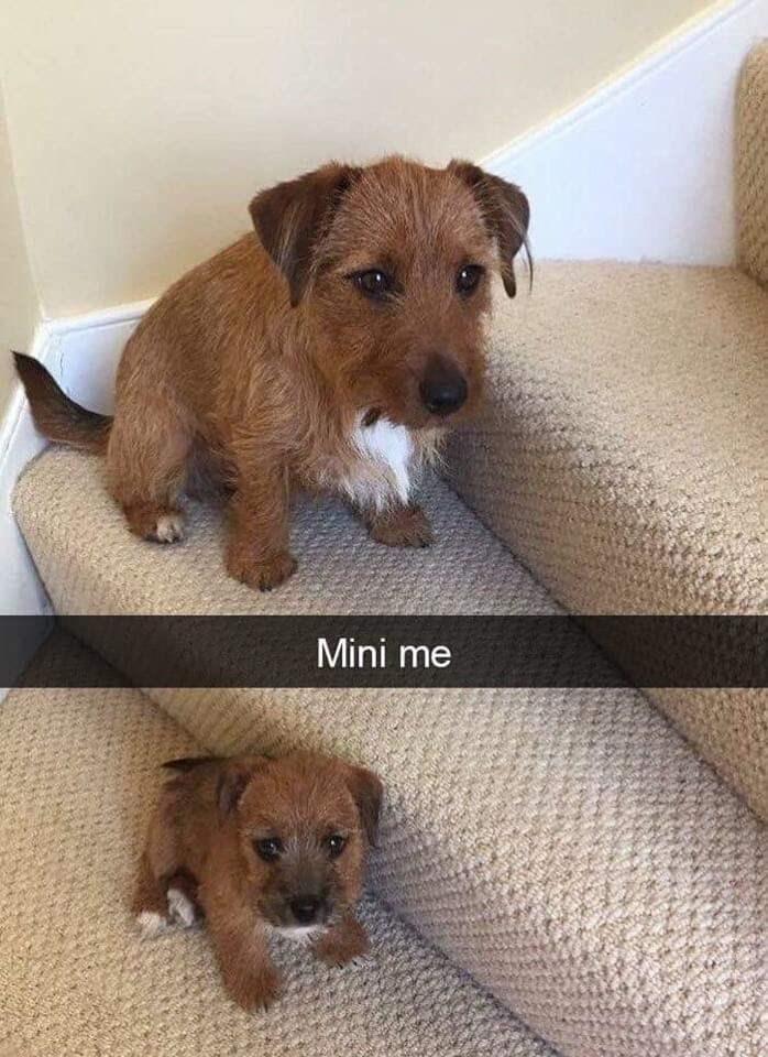 Dog - Mini me
